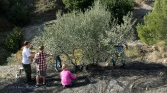Otivar Spain - Harvesting Olives in Dec 2012 with Fajardo Family