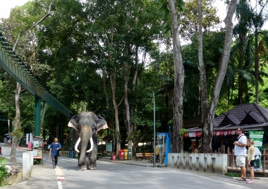 Chiang Mai Zoo and Aquarium big bull