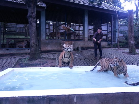Tiger-jumping-at-Alan-into-pool-3