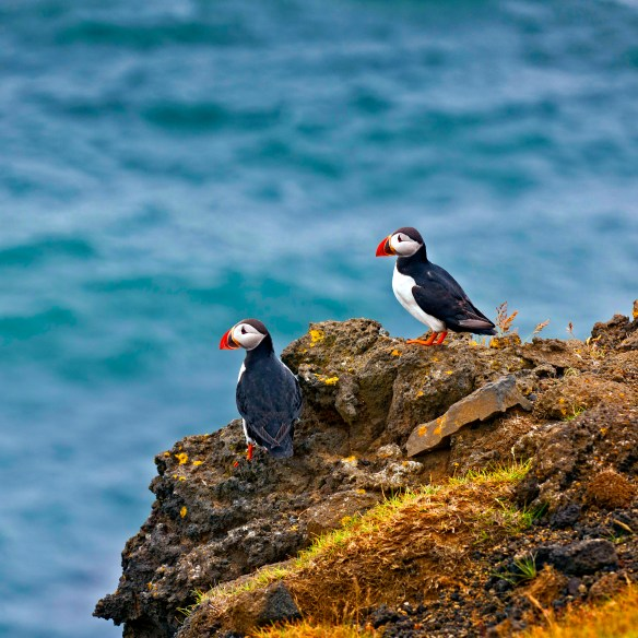 Puffins Iceland - From Iceland Press photos http://www.iceland.is/press-media/photos