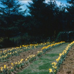 Daffodils in Old Garden