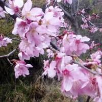Hanami di Shei-Pa National Park