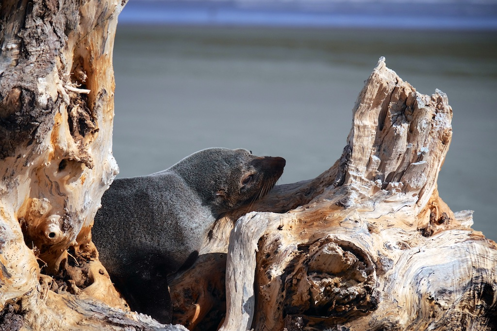 This healthy seal was resting on driftwood on Waikawa Beach in May 2015.