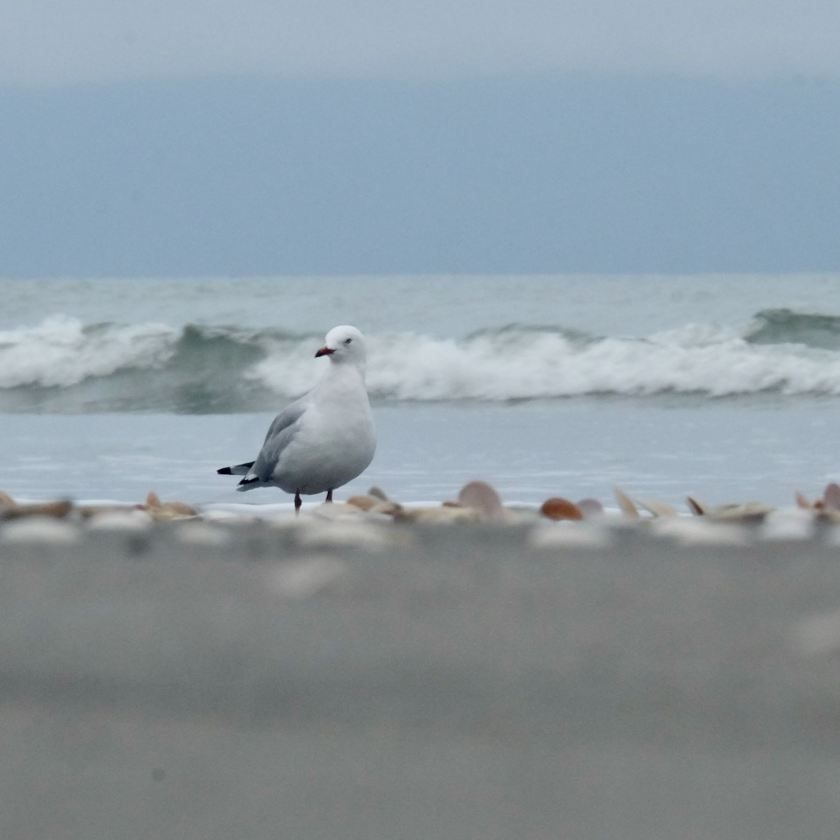 White and grey bird with red bill.