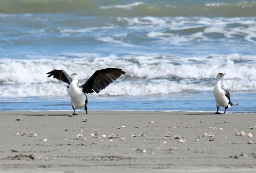 Two large black and white birds on the shore, one with wings spread.