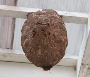 コガタスズメバチの巣