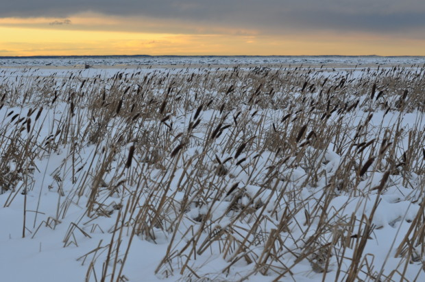 Cat tails on the flats