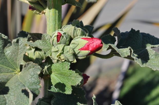 Vineyard Flowers in Northern Santa Barbara County