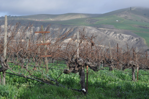 S&B Vines Looking Towards Mt Carmel