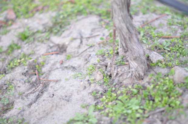 Vine growing in Sand, Sta Rita Hills