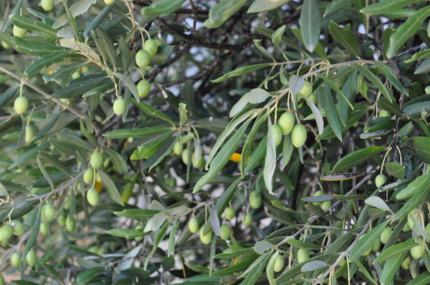 Olives at Lethbridge