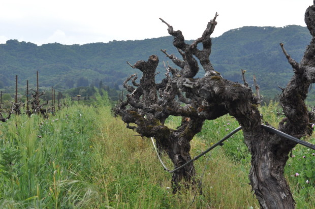 Vines from the 1880s, Bedrock Vineyard