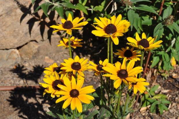 sunflowers, my favorite