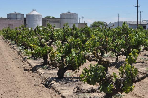 Noma old vines