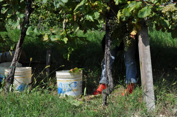 Harvesting a terraced vineyard