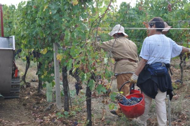 harvesting Sangiovese