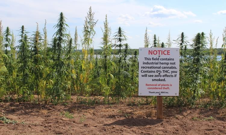 How Daft Can You Be? Stealing Industrial Hemp & Actually Getting Caught For It