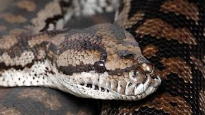 Suspect Was Using A Python & Two Pit Bull Terriers To Protect His Stash From Police – Fail !