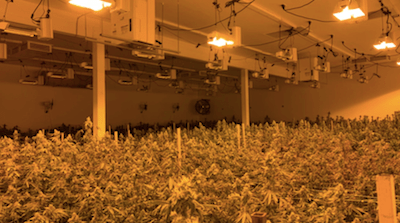 California: KCSO seizes nearly 3,000 marijuana plants, several weapons from illegal indoor grow
