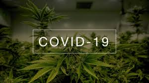 Researchers Warn Cannabis Remains Infected with COVID-19 for a Week After Exposure
