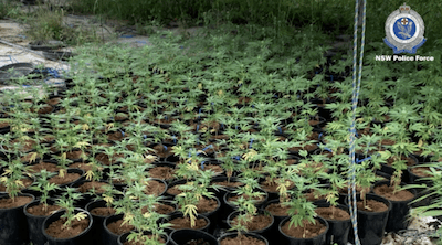 Police discover cannabis crop at deserted southwest Sydney property worth $13 million
