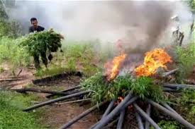 Sri Lanka: Cannabis field raided in Thanamalwila