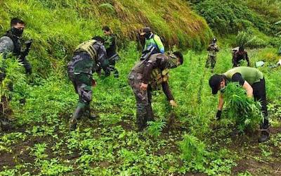 Kalinga, Philippines Weed worth P2.1 million discovered among vegetables !