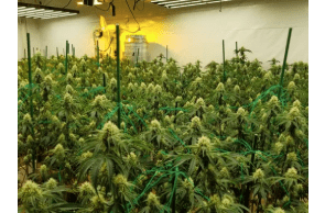 California: Raids result in cannabis plants being seized and properties shut down