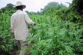 Global Risk Rights – Article:  Mexican Marijuana: The Effects of Legalization on the Economy and the War on Drugs