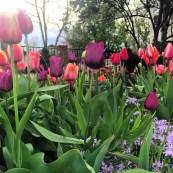 Tulips - Conquer