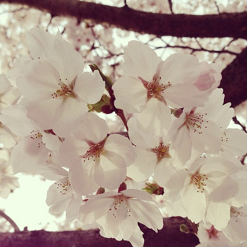 今日の桜 #iphonography #instagram #iphone5