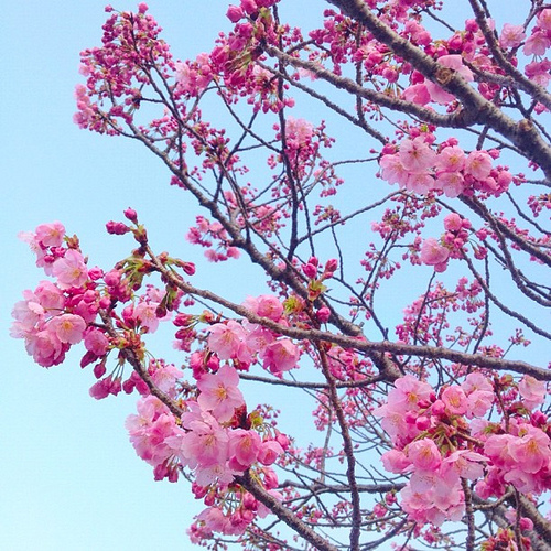 昨日より花開いてきたね!(^_−)−☆ #sakura #iphonography #instagram #iphone4s