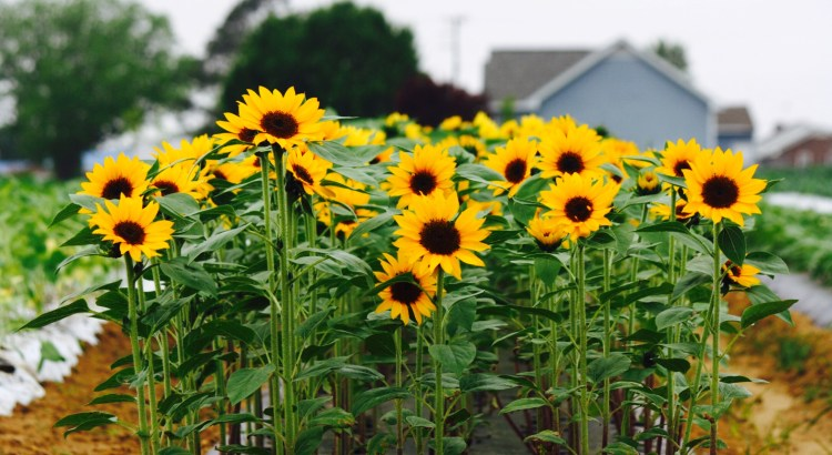 Locally grown sunflowers at Crownview Farm