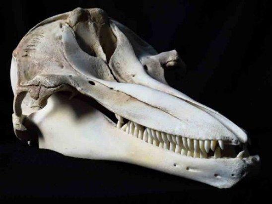 bottlenose dolphin skull animal guide