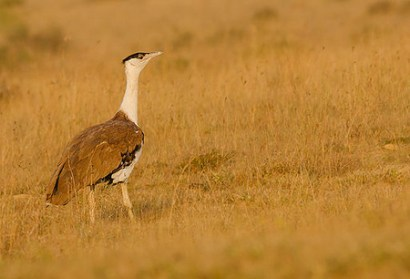 512px-great_indian_bustard