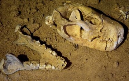 mungo tasmanian devil skull