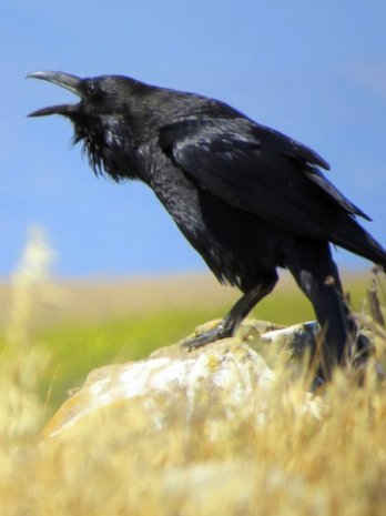 Raven Santa Cruz