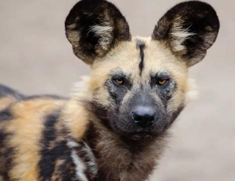 african-wild-dog-1332236