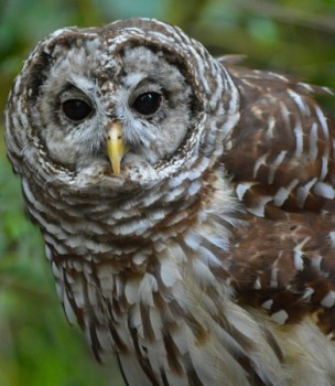 barred-owl-441976_1920
