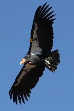 california-condor-581277-001