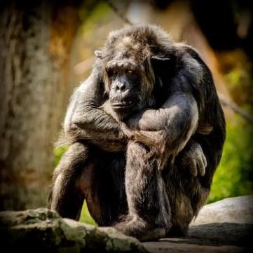 chimpanzee-978809