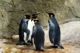 king-penguin-384252