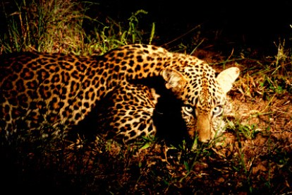 leopard-night-1074375_1920