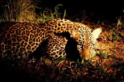 leopard-night-1074375_1920