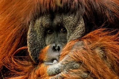 orangutan-571462
