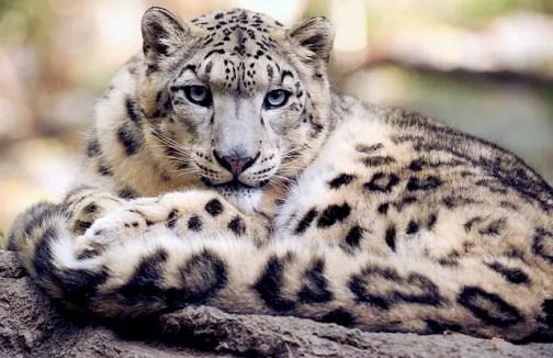 snow-leopard-1378691_640