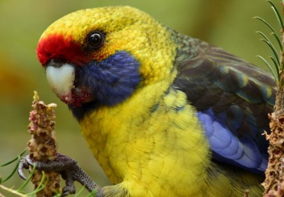 guide to birds of Tasmania Australia green rosella