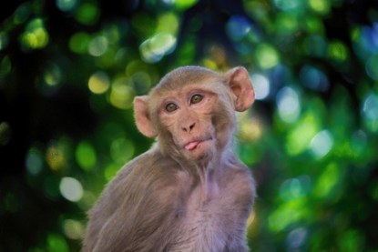 the-rhesus-macaque-4002617_1920