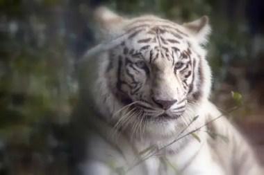 tiger-559389