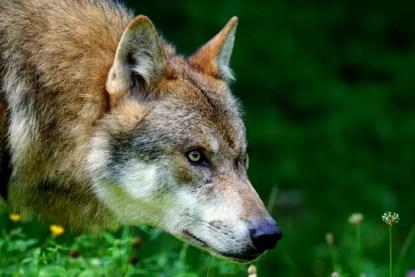 wolf-1583199